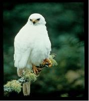 Accipiter novaehollandiae photograph