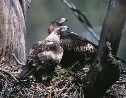 Aquila audax subsp. fleayi photograph