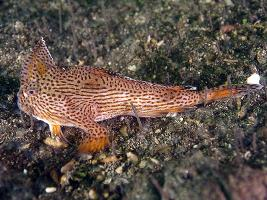 Brachionichthys hirsutus photograph