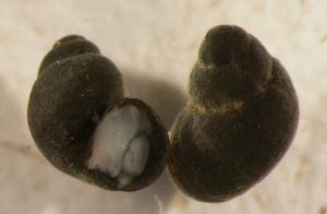 Beddomeia bowryensis photograph