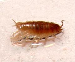 Haloniscus searlei photograph