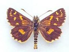 Oreisplanus munionga subsp. larana photograph