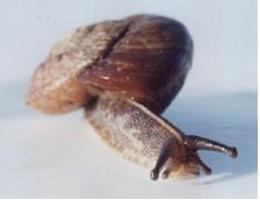 Tasmaphena lamproides photograph