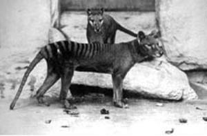 Thylacinus cynocephalus photograph