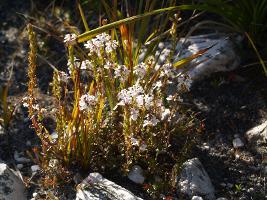 Euphrasia collina subsp. tetragona photograph