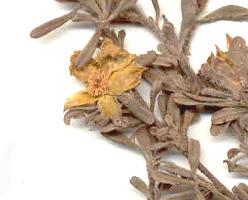 Hibbertia obtusifolia photograph