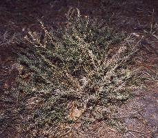 Lepidium hyssopifolium photograph