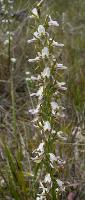 Prasophyllum milfordense photograph
