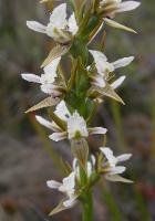 Prasophyllum apoxychilum photograph