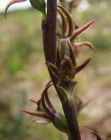 Prasophyllum atratum photograph