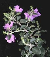 Prostanthera rotundifolia photograph