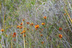 Pultenaea sericea photograph