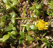 Ranunculus acaulis photograph