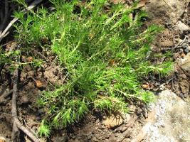 Scleranthus fasciculatus photograph