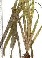 Vallisneria australis photograph