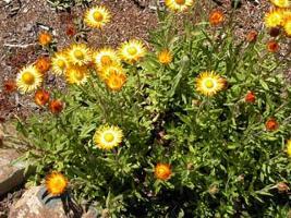 Xerochrysum palustre photograph
