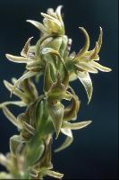 Prasophyllum limnetes photograph