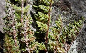 Cheilanthes distans photograph