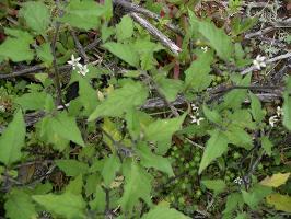 Solanum opacum photograph