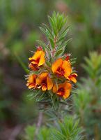Pultenaea humilis photograph
