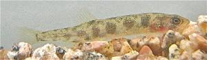 Paragalaxias julianus photograph