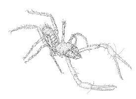 Pseudotyrannochthonius typhlus photograph