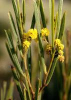 Acacia uncifolia photograph