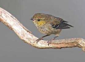 Pardalotus quadragintus photograph