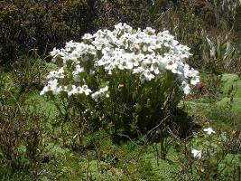 Euphrasia gibbsiae subsp. pulvinestris photograph