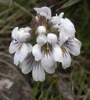 Euphrasia gibbsiae subsp. wellingtonensis photograph