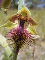 Calochilus campestris photograph