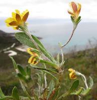 Goodenia geniculata photograph