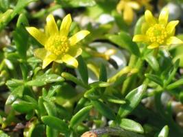 Ranunculus diminutus photograph