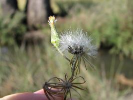 Senecio campylocarpus photograph
