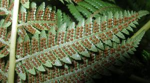 Cyathea x marcescens photograph