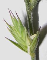 Australopyrum velutinum photograph