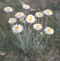 Leucochrysum albicans subsp. tricolor photograph