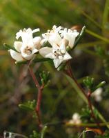 Cryptandra exilis photograph