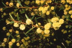 Acacia axillaris photograph