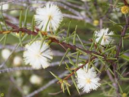 Acacia ulicifolia photograph