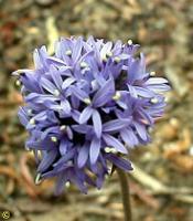 Brunonia australis photograph