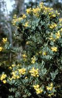 Acacia pataczekii photograph