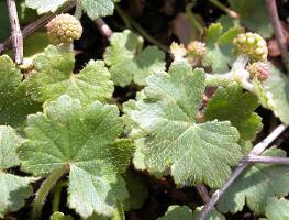 Hydrocotyle laxiflora photograph