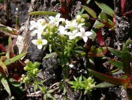 Asperula minima photograph