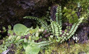 Asplenium trichomanes subsp. trichomanes photograph
