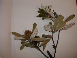 Banksia integrifolia subsp. integrifolia photograph