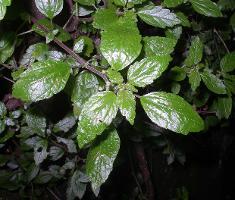 Australina pusilla subsp. muelleri photograph