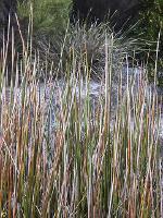 Baumea articulata photograph