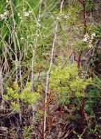 Boronia hemichiton photograph
