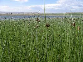 Bolboschoenus medianus photograph